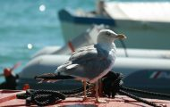 scaring birds away from boat - gull perched on top of a boat