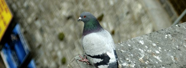 pigeon repellent remedy - pigeon perched on top of stone ledge