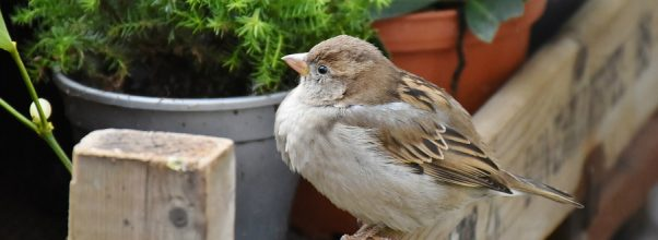 best sparrow deterrent - perched sparrow