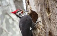 how to bird proof your home from woodpeckers - bird on tree hole